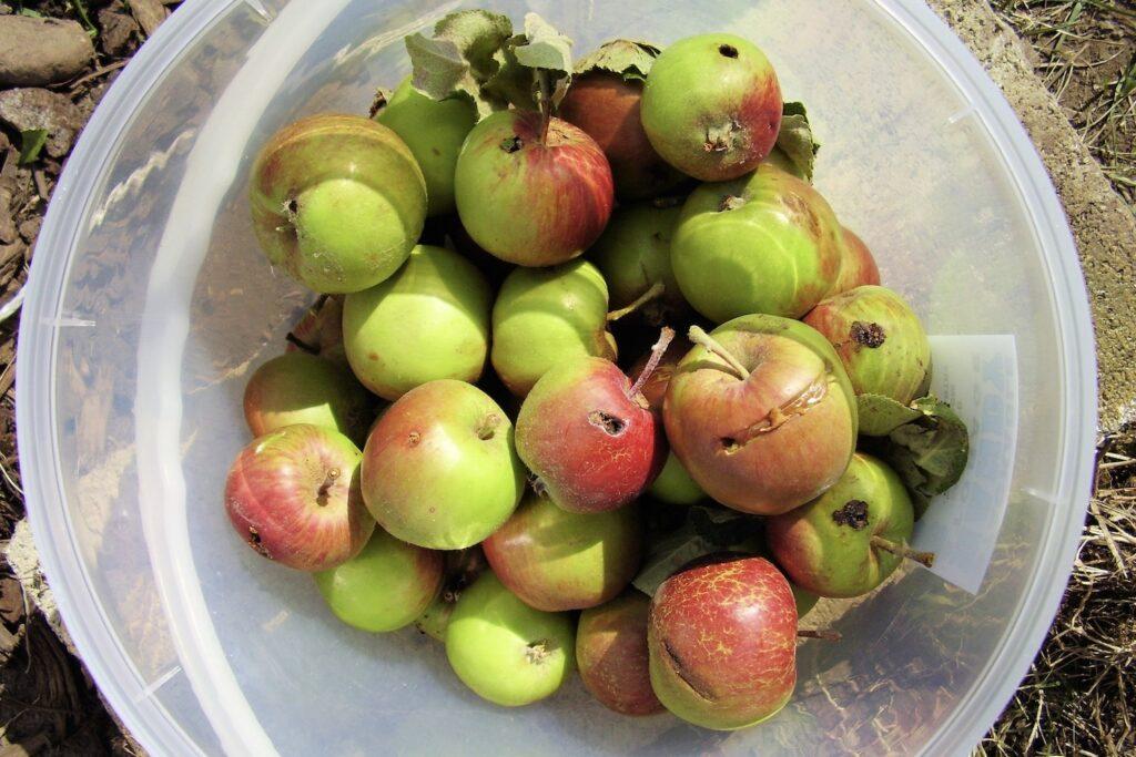 von Apfelwicklern befallenes Obst