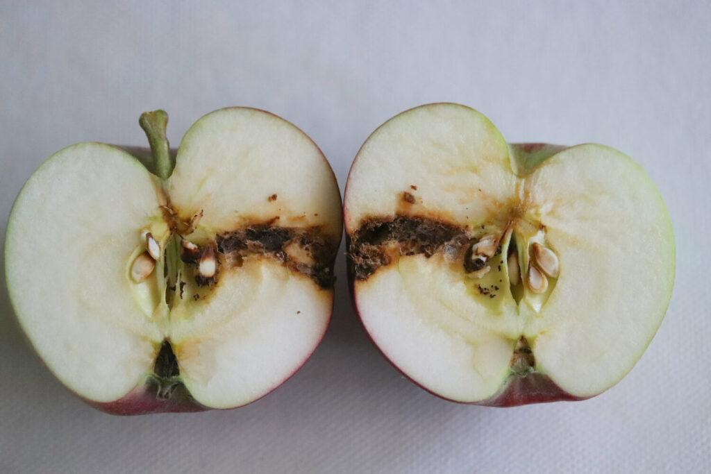 Apfel mit Apfelwickler-Befall
