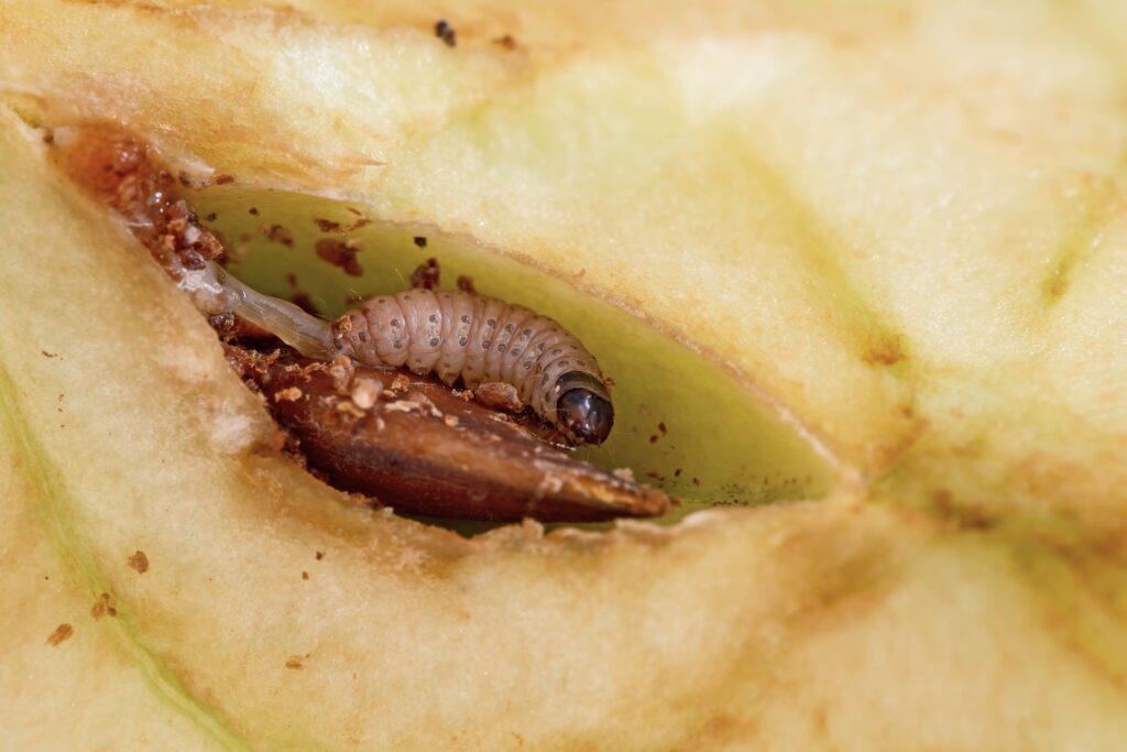 Larve des Apfelwicklers