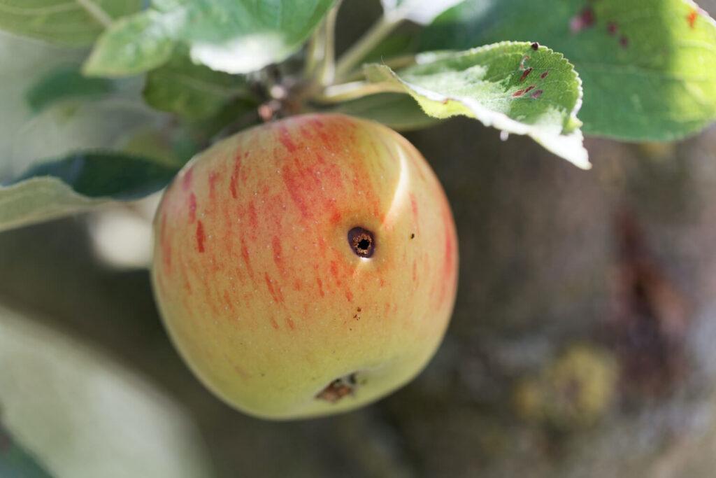 Schadbild des Apfelwicklers