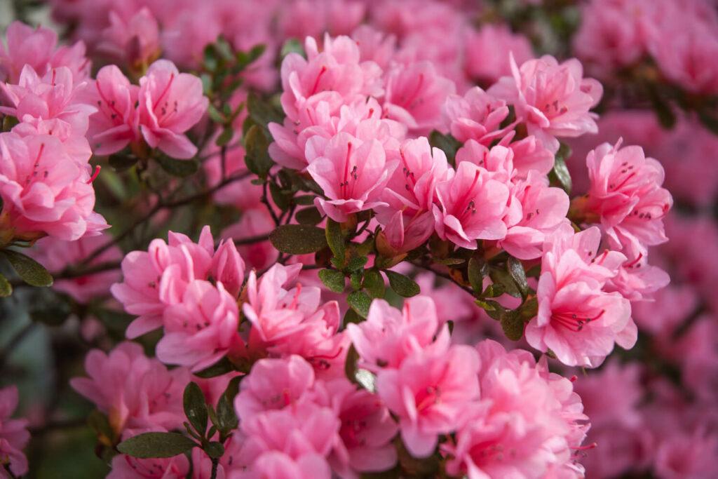 Azaleen-Blüten
