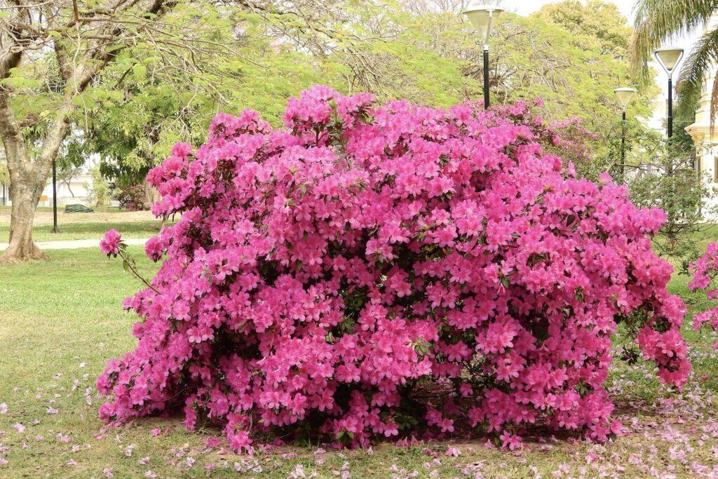 Azalea como arbusto