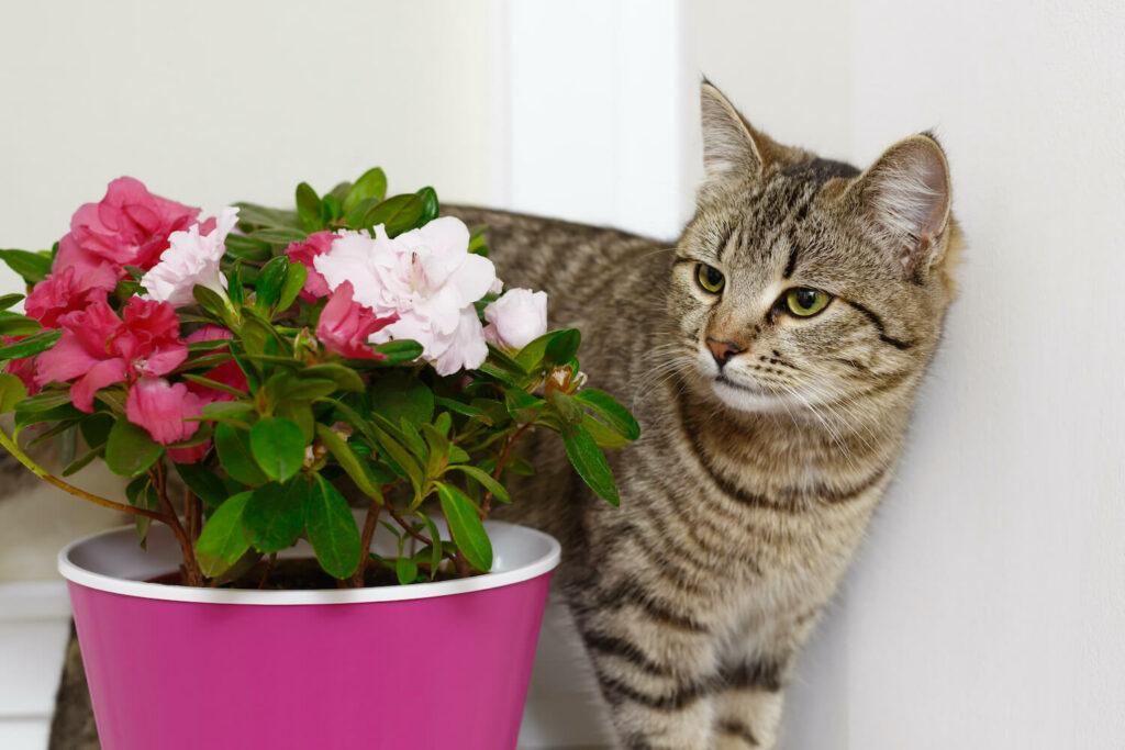 Azalea junto al gato