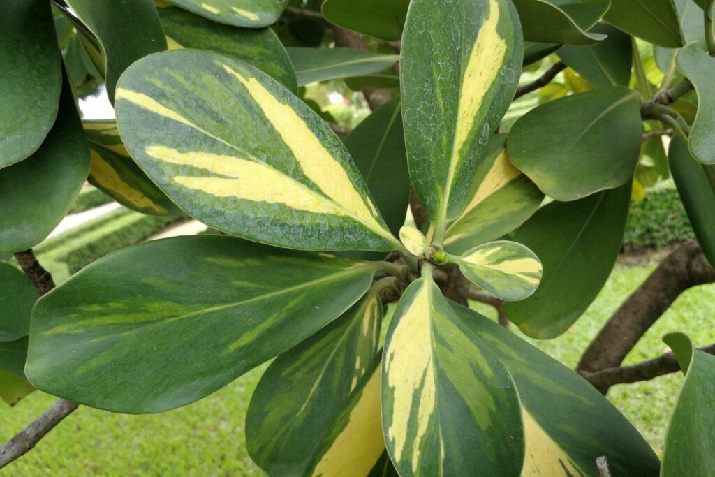 weißpanaschierte Blätter der Clusia