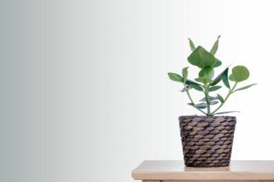 Balsamapfel: Standort, Pflege & Vermehrung der Clusia