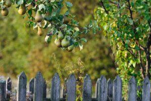 Prinzessin-Marianne-Birne: Anbau, Geschmack & Ernte