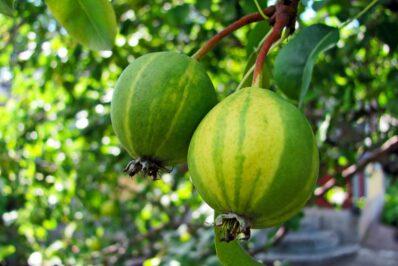 Birne Schweizerhose: Geschmack, Anbau & Pflege der Birnensorte