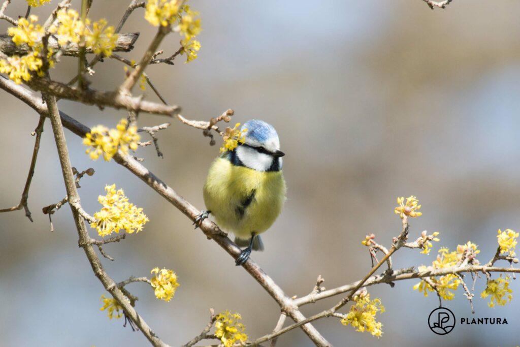 Vogel der Art Blaumeise