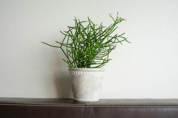Bleistiftbaum: Standort, Pflege & Vermehren von Euphorbia tirucalli