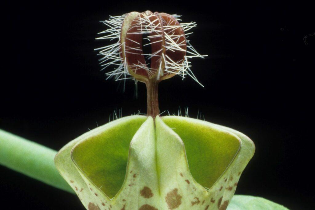 Leuchterblume Ceropegia haygarthii