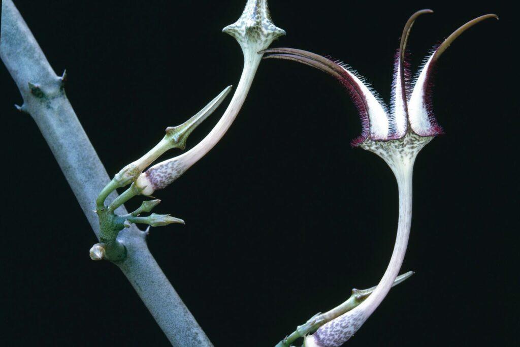 Leuchterblume Snake Creeper