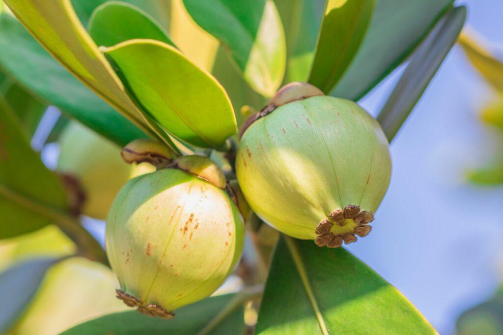 Früchte der Clusia