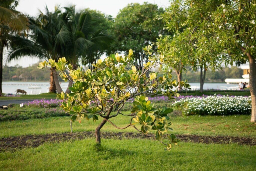 Balsamapfelbaum im Garten