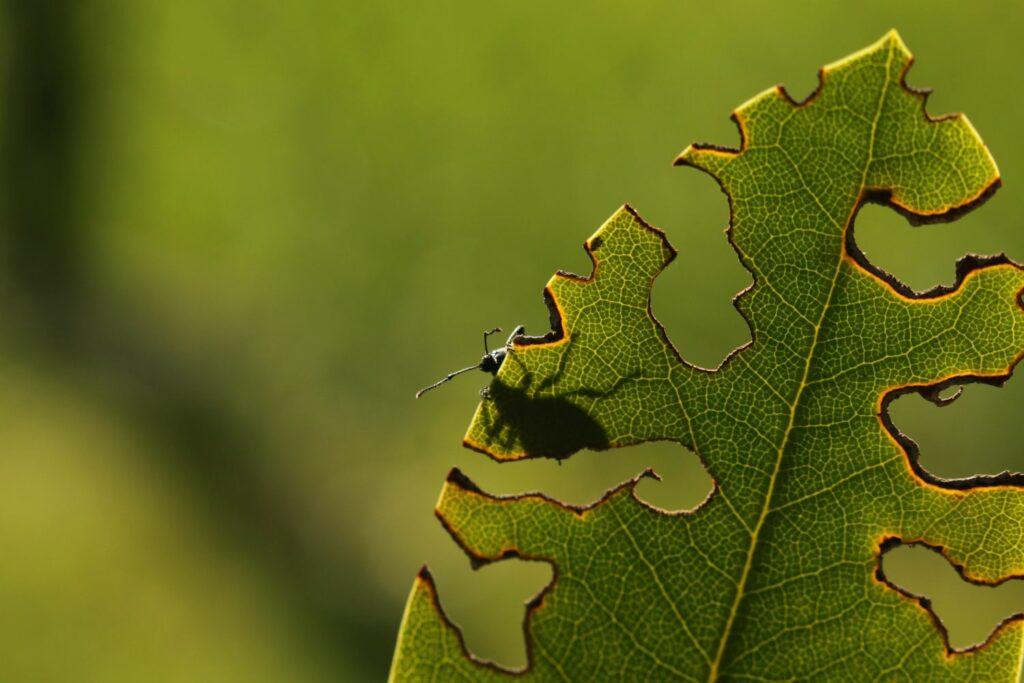 Dickmaulrüssler auf Pflanze