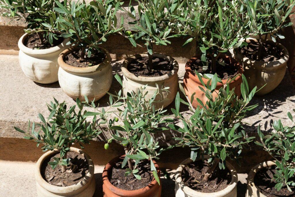 frisch umgetopfte Olivenbäume