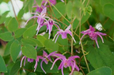 Elfenblume: Pflanzen, Pflege & die schönsten Epimedium-Sorten