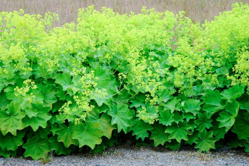 viele Frauenmantel-Pflanzen