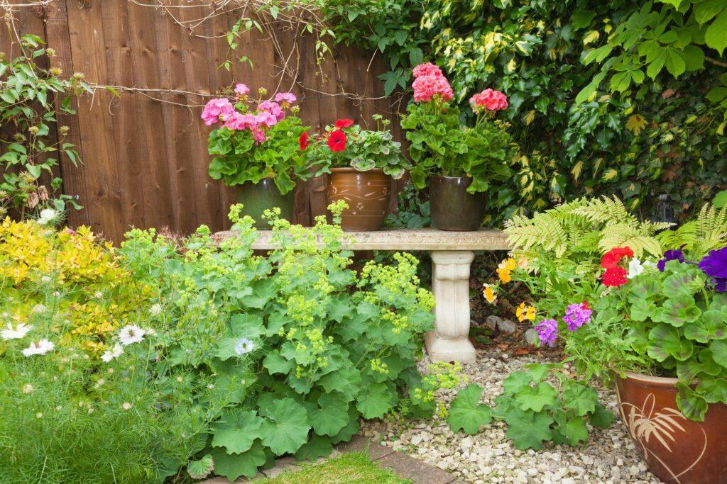 Frauenmantel im Garten