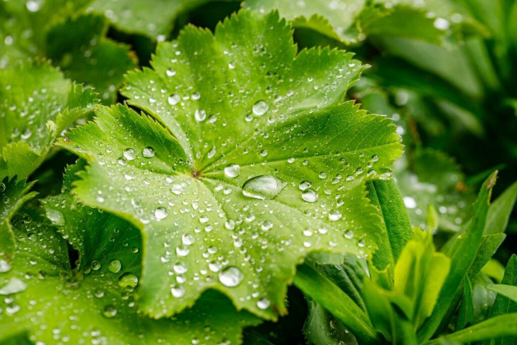 Frauenmantel-Blätter