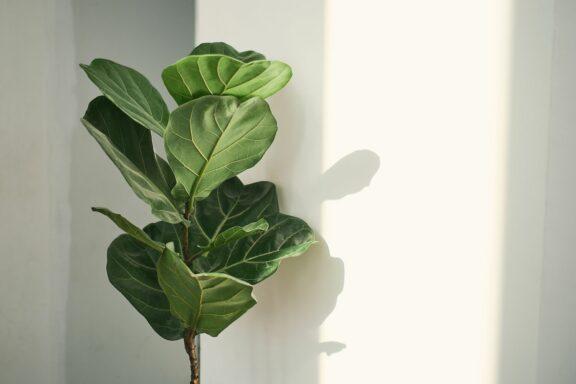 Geigenfeige: Pflege, Standort & Vermehren von Ficus lyrata