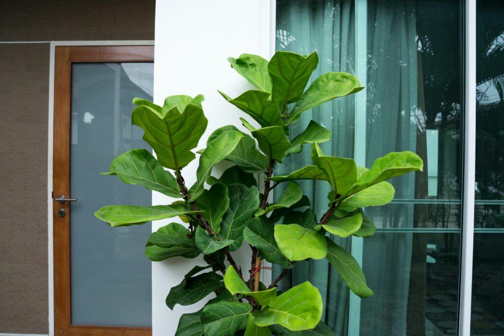 Ficus lyrata-Pflege