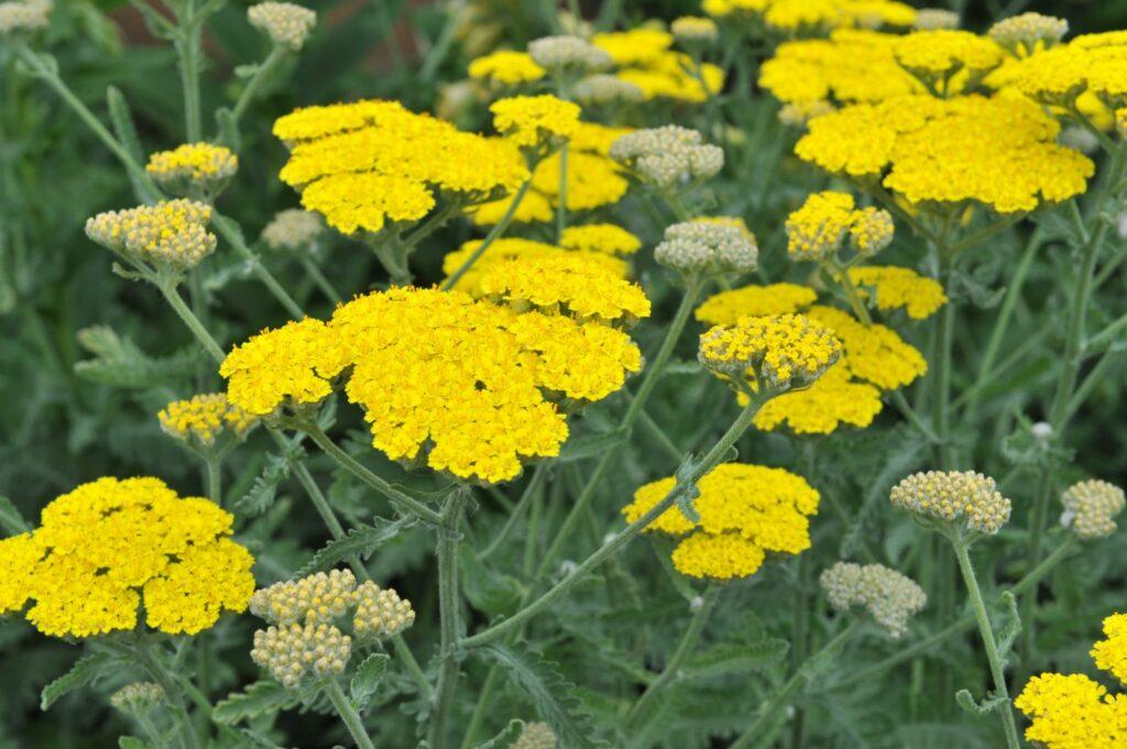 gelbe Blüten der Goldquirl-Garbe