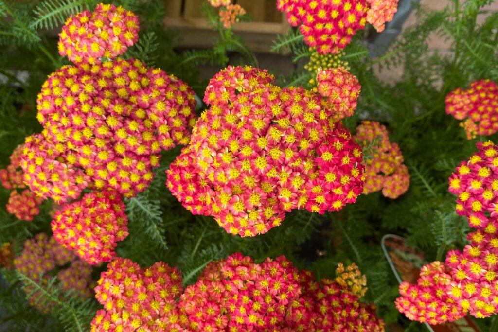 flammend rot-orangene Blüten der Goldgarbe