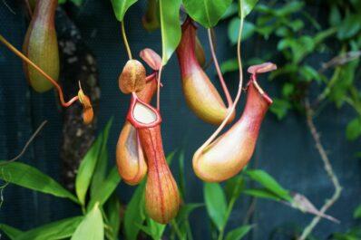 Kannenpflanze: Pflege, Blüte & Standort der fleischfressenden Pflanze
