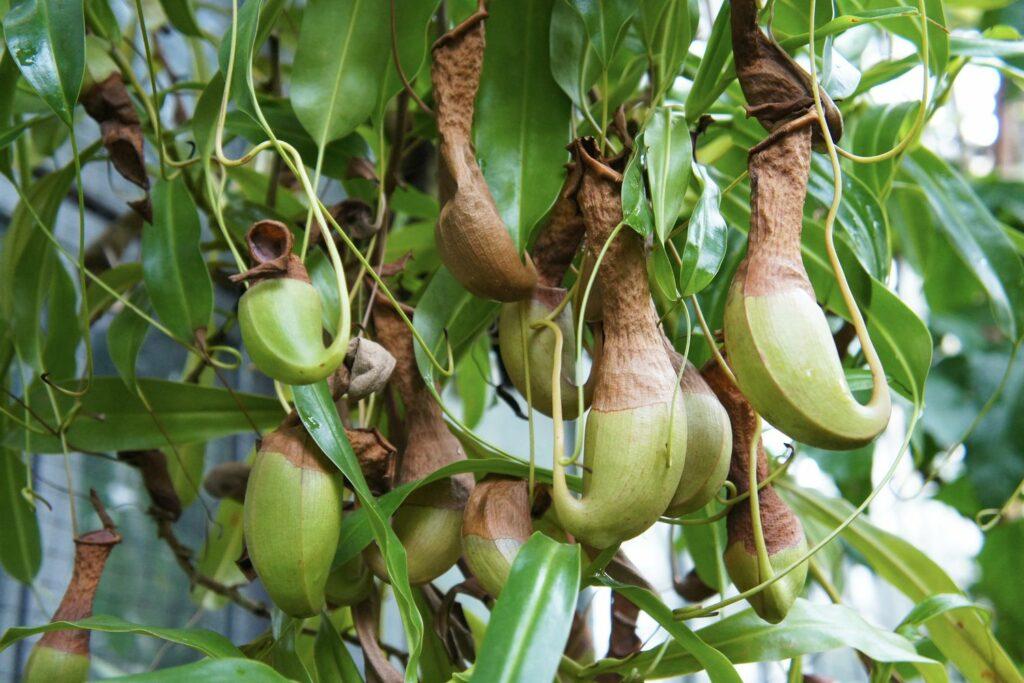 Kannenpflanze-Pflege