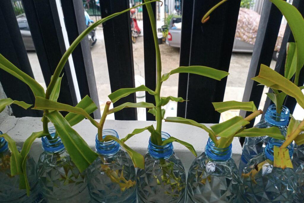 Kannenpflanze-Stecklinge