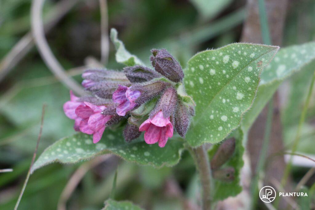 Blüte des Lungenkrauts