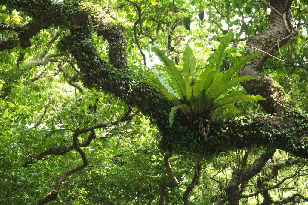 Der Nestfarn wächst in der Natur in den Kronen der Bäume