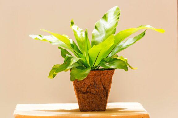 Nestfarn: Pflege & Standort der Zimmerpflanze