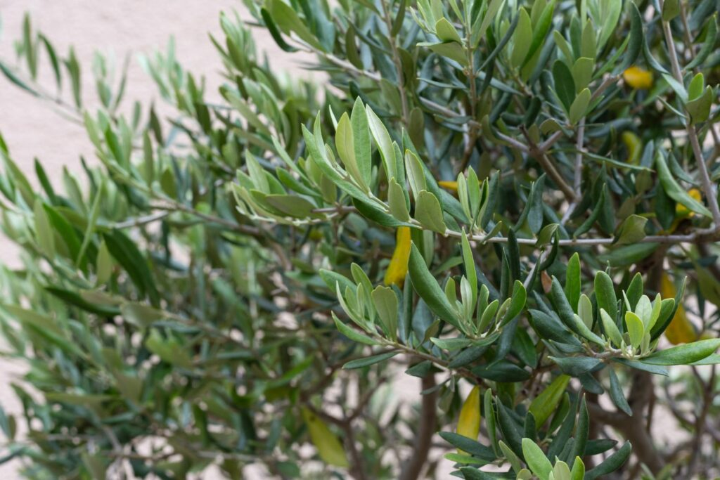 Gelbfärbung an Blättern des Olivenbaums