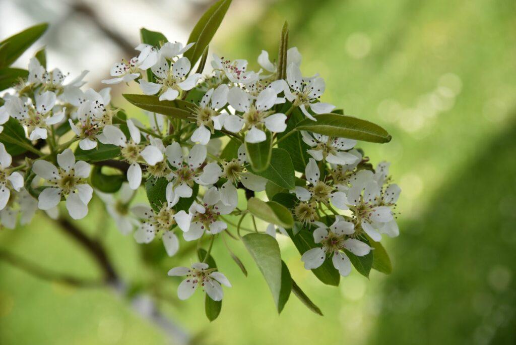 Blüten der 'Marianne'