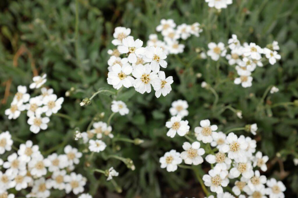 weiße Blüten der Griechischen Silber-Garbe