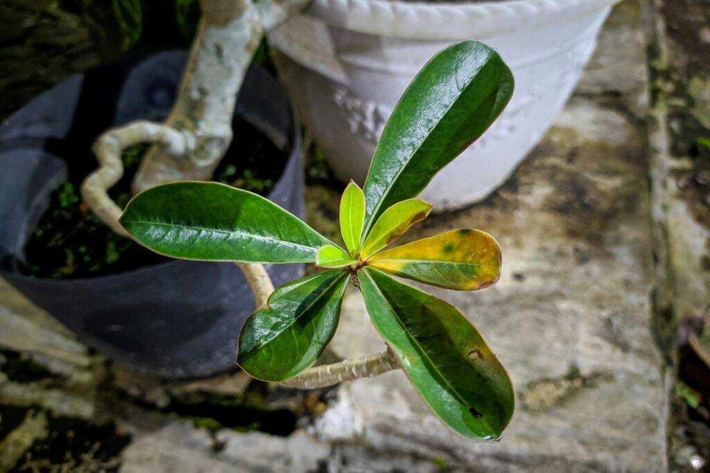 Wüstenrose mit gelben Blättern