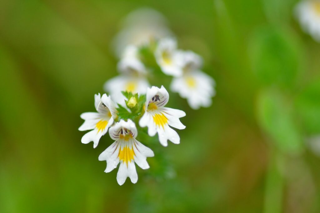 Augentrost-Blüten