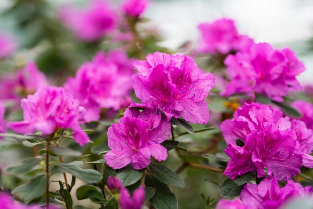 Pinke Azaleenblüten