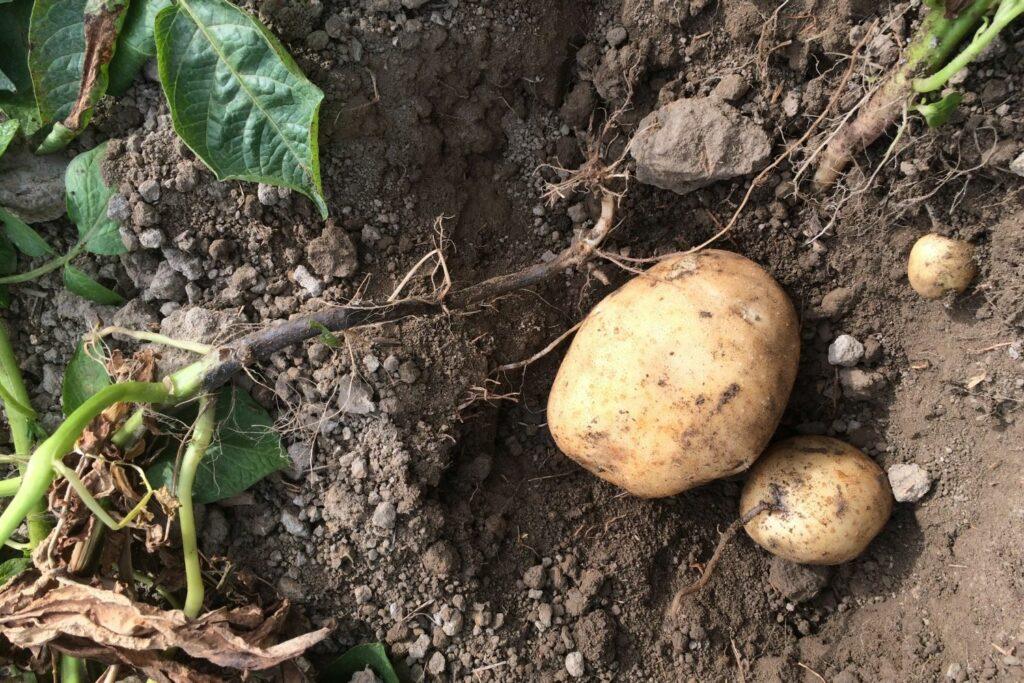 Kartoffel mit Schwarzbeinigkeit