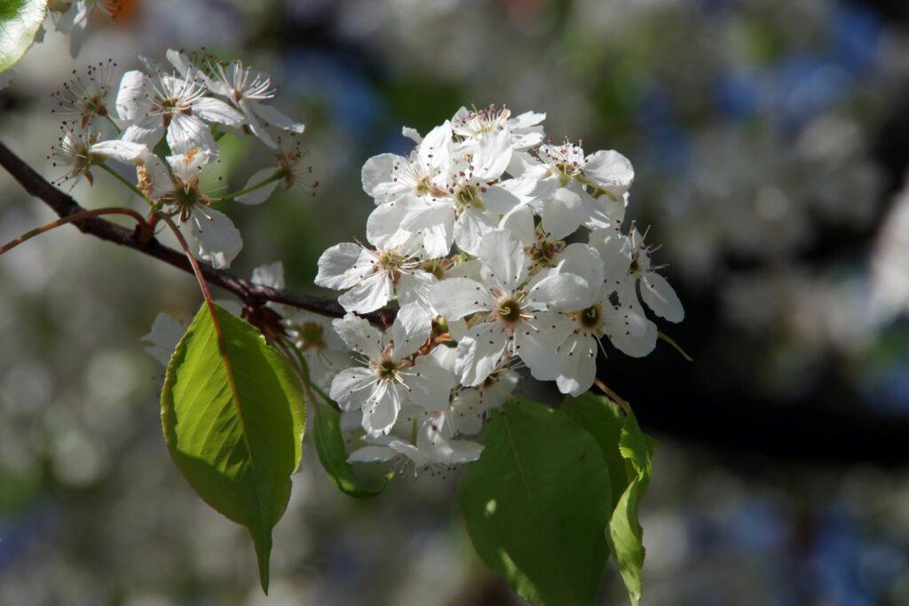Blüte des 'Gräfin von Paris'-Birnbaums