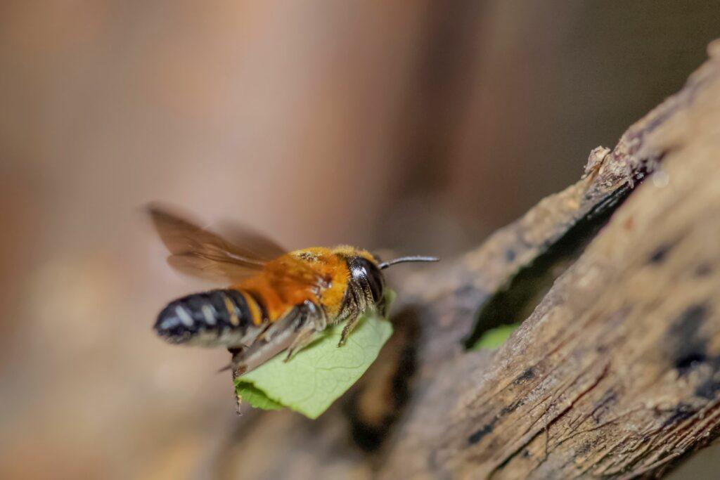 Blattschneidebiene trägt ein Blatt