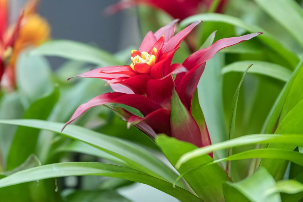 Blüte der Bromelie