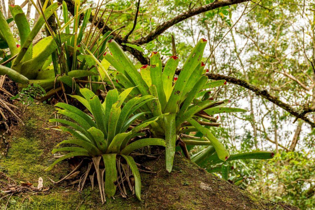 Bromelie im Regenwald