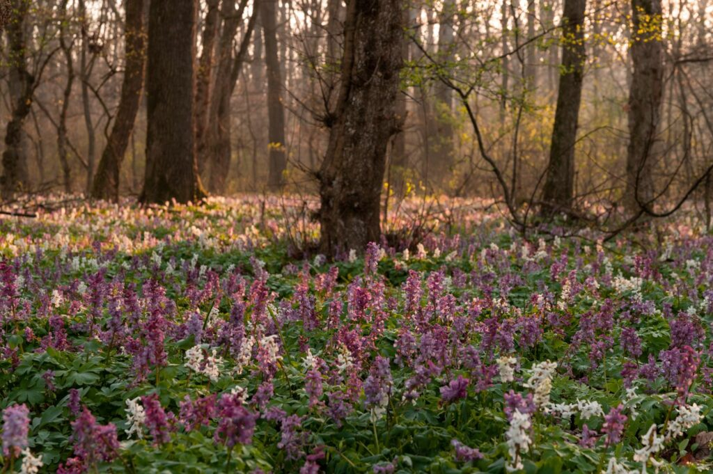 Lerchensporn im Wald