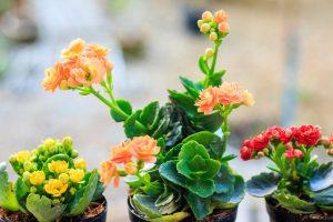 Flammendes Käthchen: Pflege, Standort & Vermehren der Kalanchoë blossfeldiana