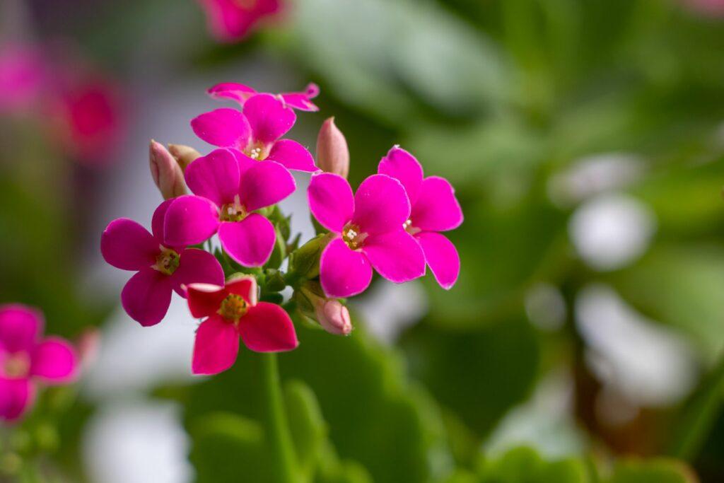 Blüten des Flammenden Käthchens