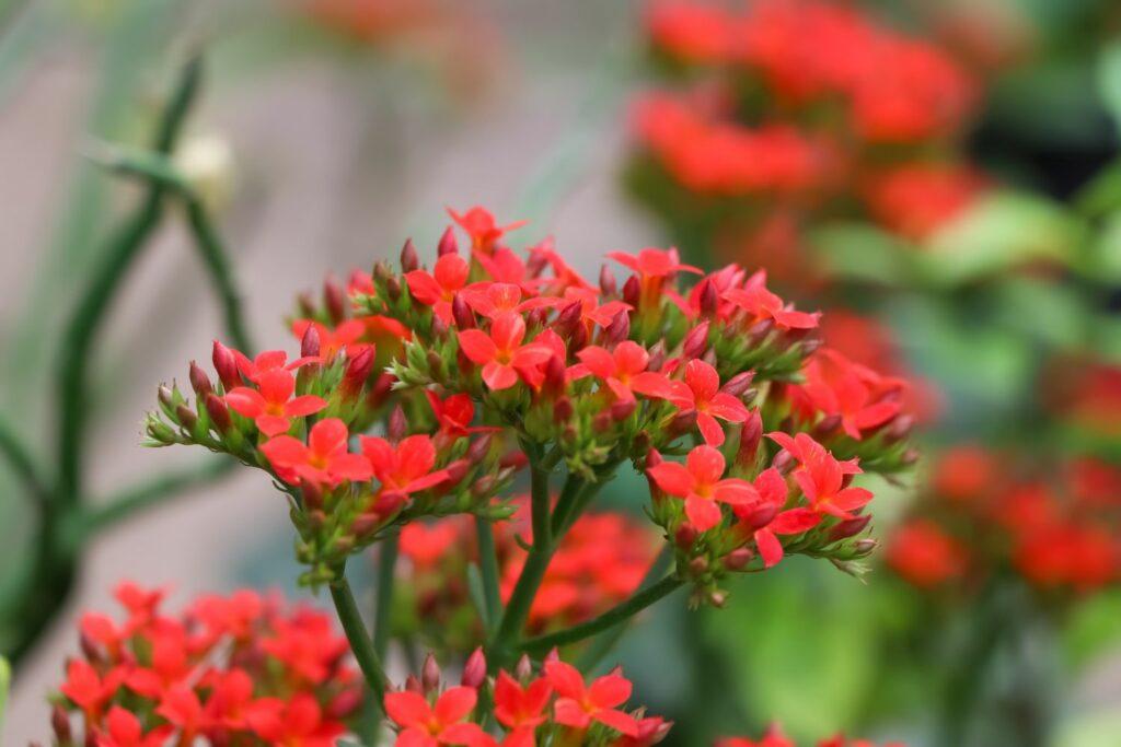 Flammendes Käthchen mit roten Blüten