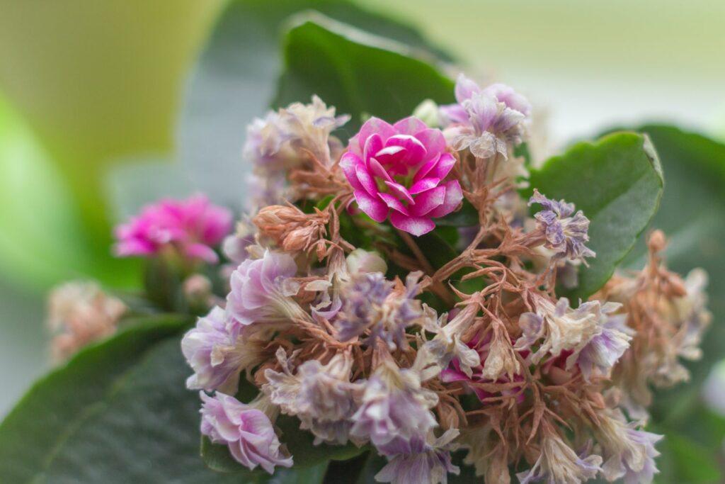 Vertrocknete Blüten des Flammenden Käthchens