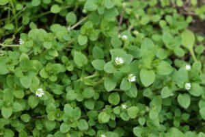 Vogelmiere: Unkraut oder essbare Heilpflanze?